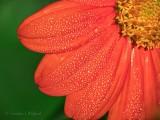 Dewy Mexican Sunflower DSCN27534