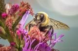 Bee On A Purple Flower Stalk DSCN27542 (crop)