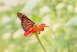 Monarch On A Mexican Sunflower DSCN28156