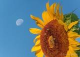 Moon Beyond Sunflower DSCN28497.05