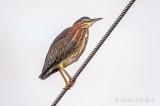 Green Heron On A Wire DSCN29319