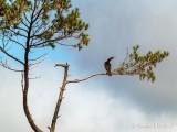 Cormorant In A Pine Tree P1030192