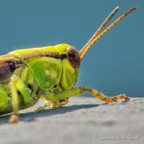 Green Grasshopper DSCN30745 (crop)