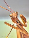 Praying Mantis Cleaning A Leg DSCN32062