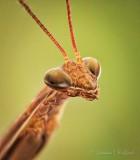 Praying Mantis Closeup DSCN32081-3
