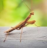 Brown Praying Mantis DSCN32069