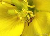 Bug In A Yellow Wildflower (crop) DSCN34419