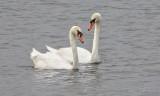 Mute Swan Couple DSCN38580