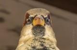 House Sparrow Stare Down DSCN39660 (crop)