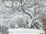 Snowy Tree DSCN41066