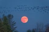 Skein of Geese Over Rising Beaver Full Moon P1570589
