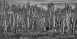 Birches DSCN43790