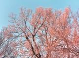 Pink Frost DSCN47226