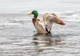 Mallard Drake Flapping Its Wings DSCN47442