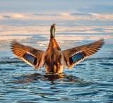 Mallard Drake Spreading Its Wings DSCN47504