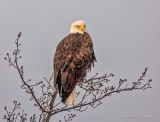 Bald Eagle Perched Atop A Tree DSCN47905