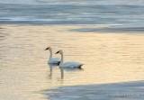 Two Trumpeter Swans In Open Water DSCN48042