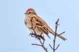 American Tree Sparrow DSCN47854