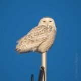 Female Snowy Owl On An Antenna Mast DSCN48133
