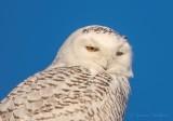 Female Snowy Owl Portrait DSCN48135 (crop)
