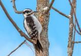 Female Hairy Woodpecker DSCN47968
