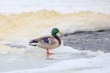 Foam Piled Beyond Mallard Standing On Snowy Ice DSCN49105