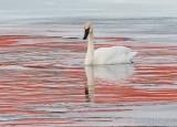 Swan In Reflected Sunrise Color DSCN49169