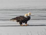 Two Bald Eagles On Ice DSCN49317
