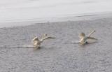 Two Trumpeter Swans Landing DSCN49380