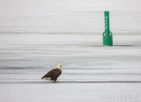 Bald Eagle On Canal Ice DSCN49367