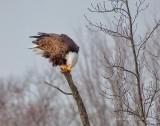 Bald Eagle Perched On A Broken Tree Limb DSCN49308
