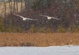 Two Trumpeter Swans Approaching In Falling Snow DSCN49377