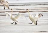 Trumpeter Swans Landing On Ice DSCN49623