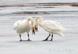 Trumpeter Swans Seeing Eye To Eye DSCN49641