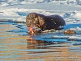 Otter On Ice At Breakfast DSCN49762