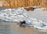 Two Otters On An Ice Shelf DSCN49742-3