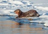 Snowy Otter At Breakfast DSCN49817