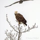 Crow Harassing A Bald Eagle DSCN50158