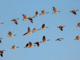 Three Shot Bracket Of Geese In Flight DSCN51495-7
