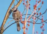 Blue Jay In A Budding Tree DSCN51427