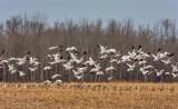 Snow Geese Taking Flight DSCN51609