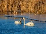 Two Trumpeter Swans Near Ice Shelf DSCN51664