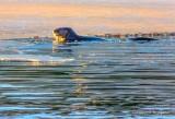 Otter Beside Ice DSCN51756