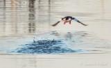 Bufflehead Duck Flying Away DSCN52121