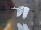 Great Egret In Flight 26575