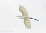 Croaking Great Egret In Flight 46088