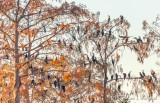 Cormorant Roost 25627