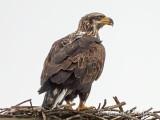Young Bald Eagle On An Osprey Nest DSCN52462