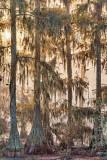 Cypresses & Spanish Moss 26737