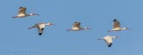 White Ibises In Flight 45592